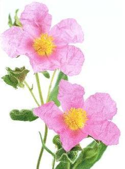 cistus-background-1