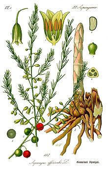 Części Używane: Korzenie (kłącza), Shatavari proszek i korzeń liście