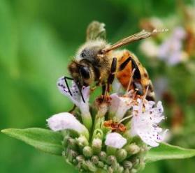 pszczola na manuka